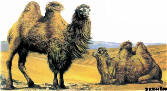 骆驼乳强大的保水性