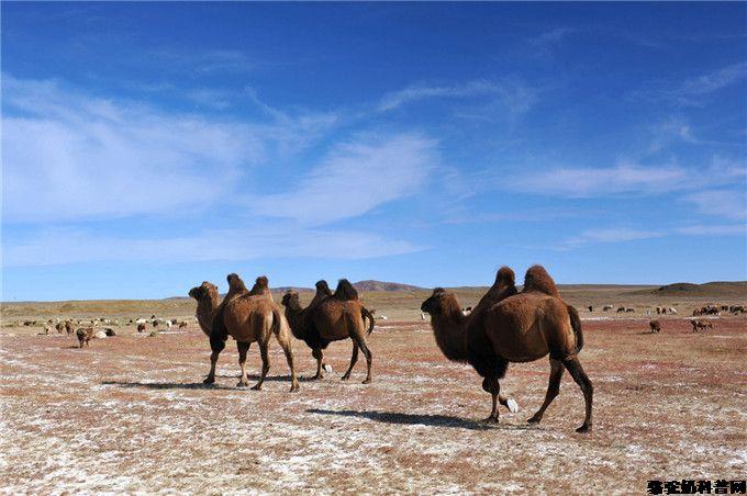细说骆驼母爱伟大的点滴