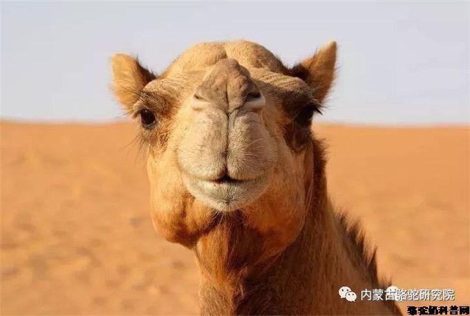 骆驼为什么叫全兽?