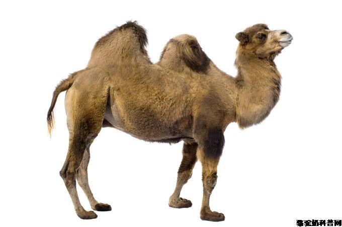 脊椎健康网为您提供:骆驼为什么叫全兽?